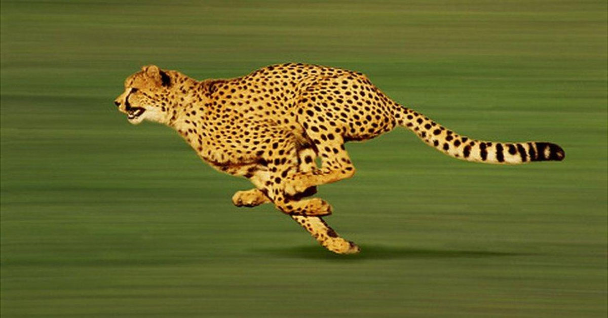 Cheetah: The world's fastest cat is returning to India