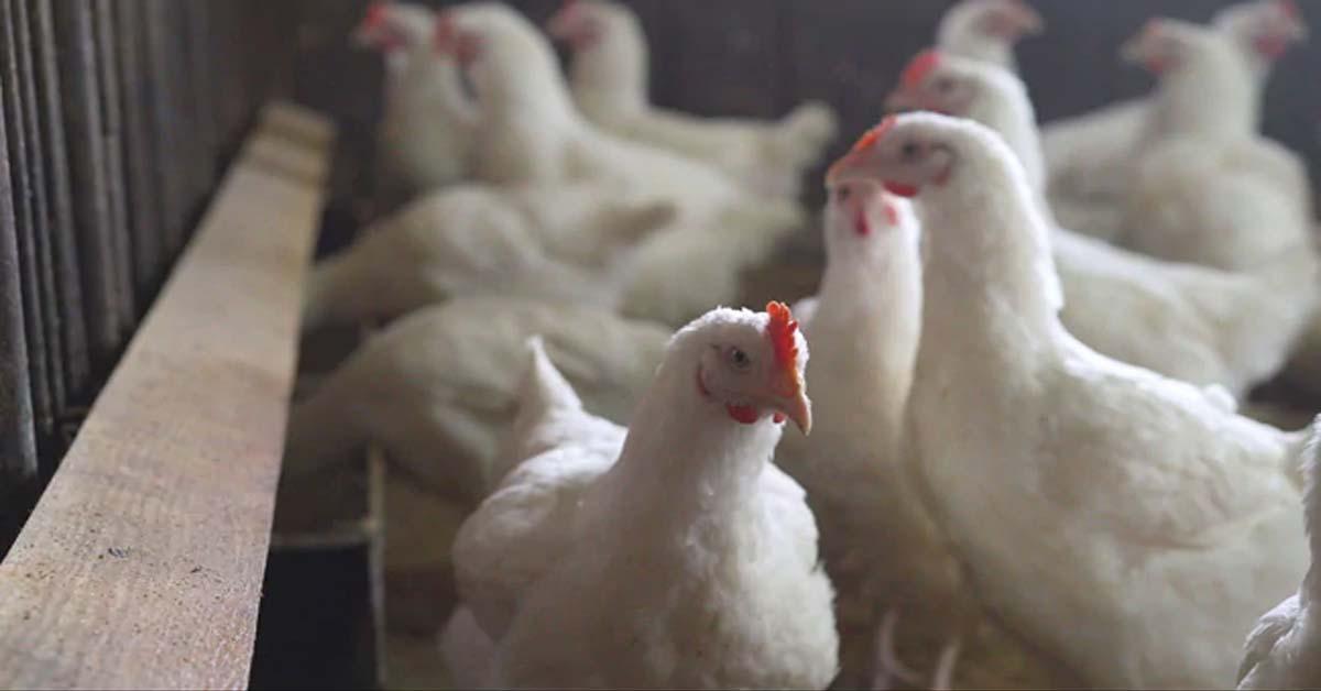 Bird Flu: Sale Of Chicken Banned In Parts Of Delhi